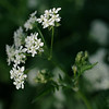 Cow parsley blooming by the wayside