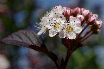 Freshly-opened ninebark flowers, closeup