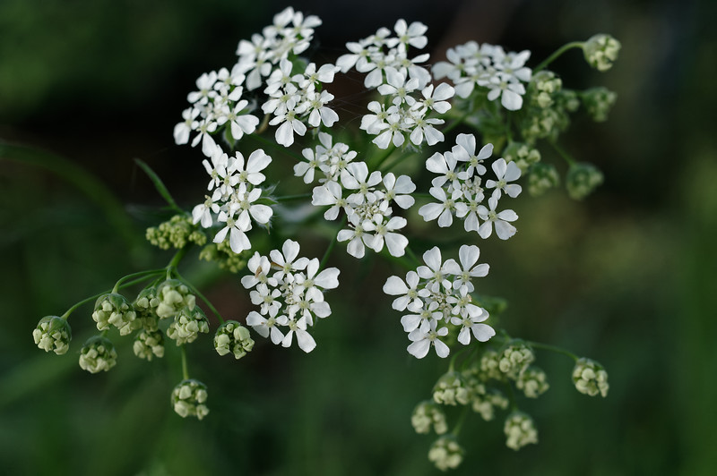 Yarrow flowers in different stages of bloom