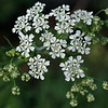 Cow parsley flowers in different stages of bloom