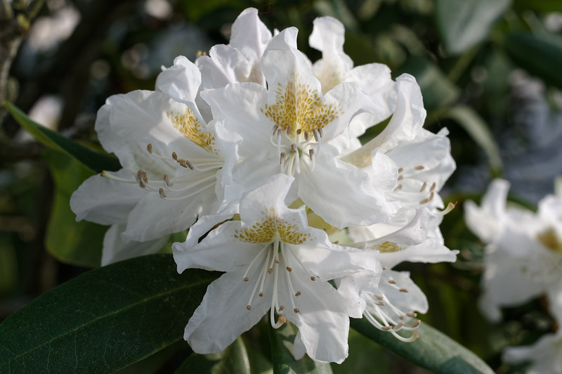 Ball-shaped cluster of white rhododendron flowers