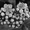 Aronia flowers, kissed by evening light (b/w)