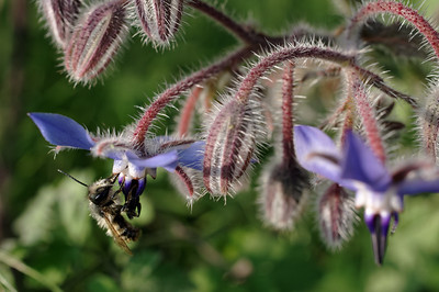 Bee feeding on borage nectar