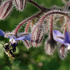 Bee feeding on borage nectar