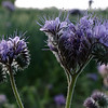 Double portrait of lacy phacelia