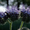 "Lacy phacelia, ""triple"" portrait"