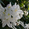 White rhododendron flowers on their bush