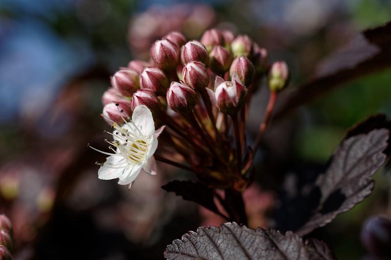 Ninebark flowers, buds, & foliage