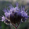 Lacy phacelia in a dapple of morning sun