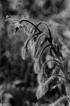 Borage, as if from weathered dry plate