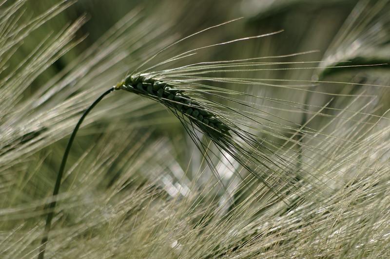Ear of barley in the evening sun