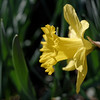 Daffodil flower in near profile