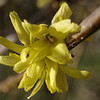Cluster of border forsythia flowers