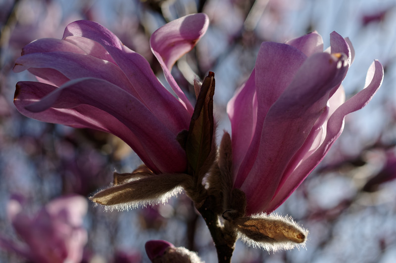 Star magnolia flowers, sidelit by morning sun
