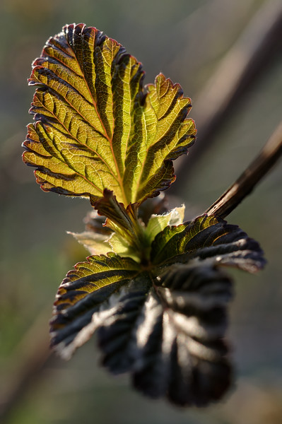 Fresh ninebark leaves, closeup