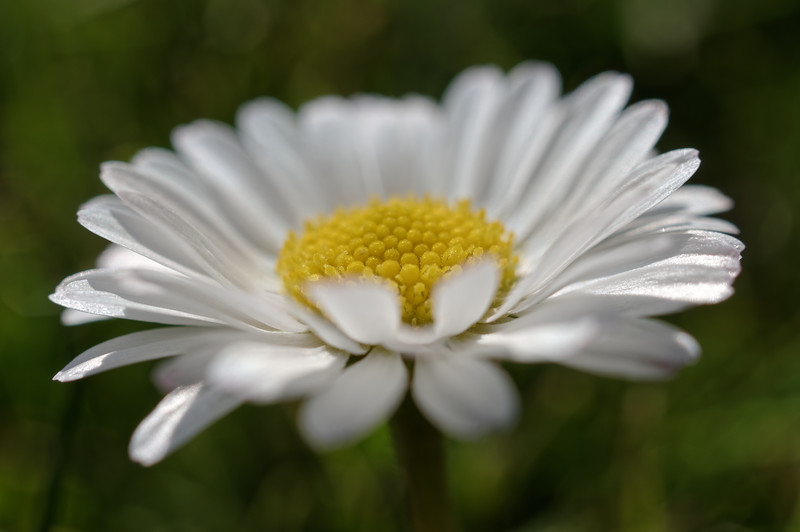 Daisy freshness with a bit of bokeh