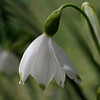 Summer snowflake flower, closeup