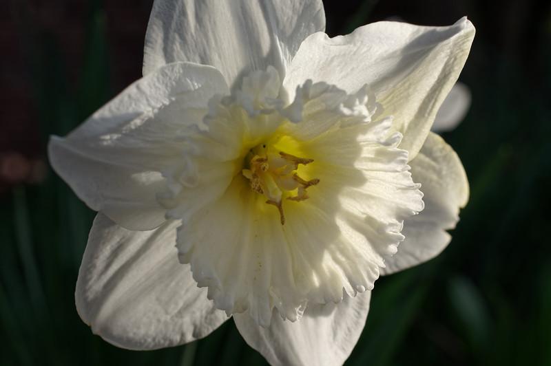 Tenby daffodil flower, sidelit by evening sun