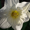 Tenby daffodil flower, sidelit by evening sun