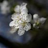 Wild cherry blossom, framed by a twig