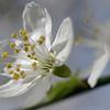 Wild cherry blossom, closeup