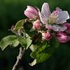 Apple blossoms in morning sun, closeup