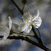 Pair of wild cherry blossoms, closeup