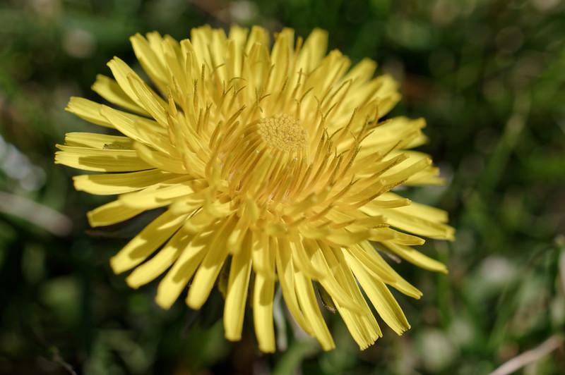 Common dandelion flower, closeup