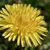 Common dandelion flower, closeup