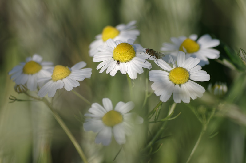 German chamomile with guests