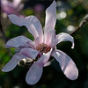 Peek into an opening star magnolia