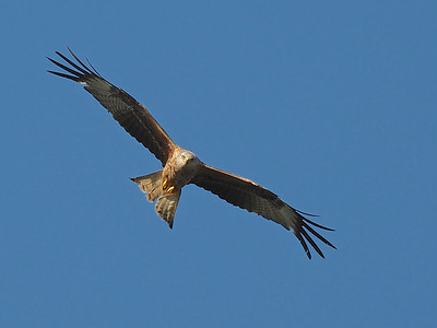 Red Kite Soaring