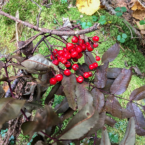 Mountain Ash berries, alongside Gorge Brook trail, Mount Moosilauke. Photo by David Kotz '86.