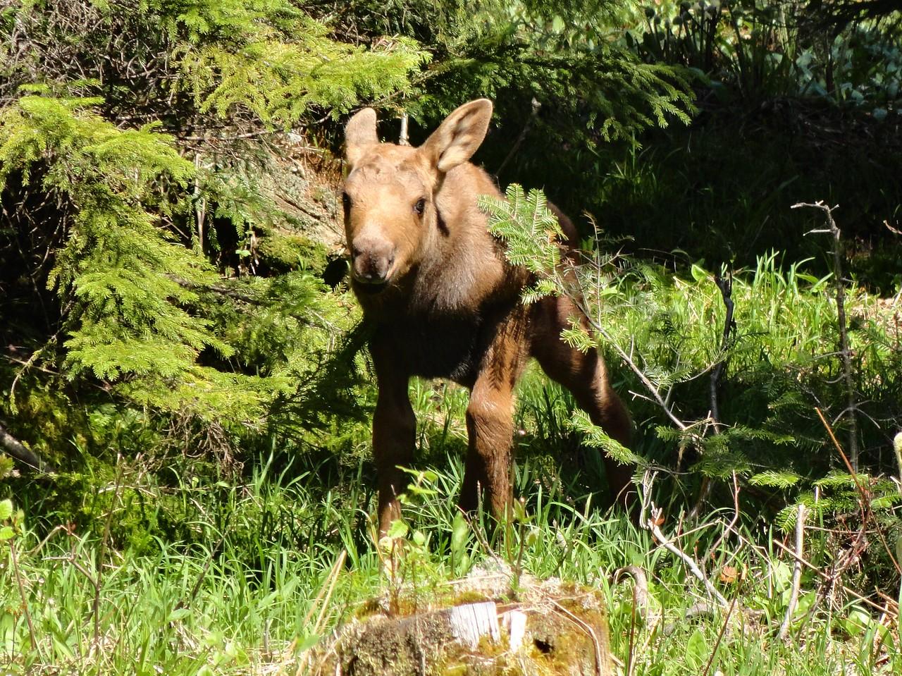 Newborn moose calf, May 2012