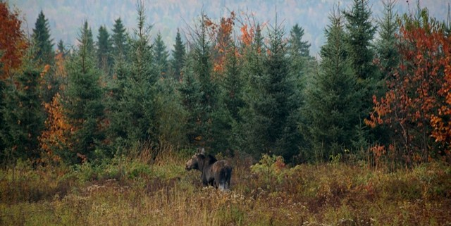 Cow moose in Pittsburg, NH.