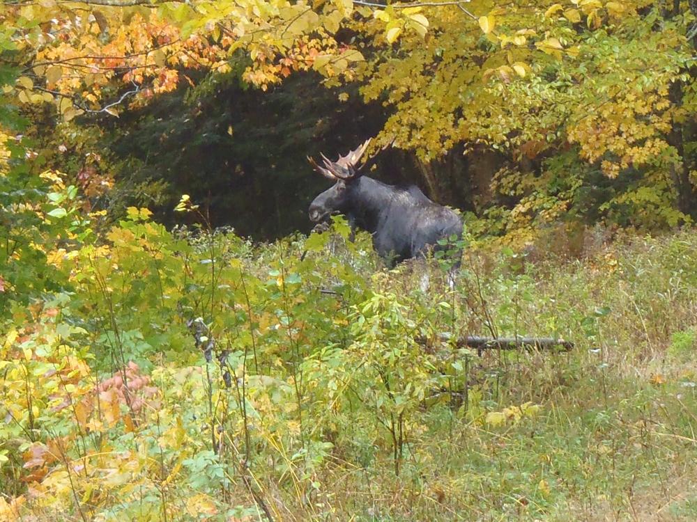 """Bull moose at """"Moose Alley"""" Pittsburg NH, October 2012 Photo by Harold Chuchul"""