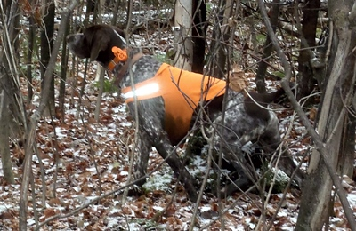 Tall Timber's Monty finds a rufffed  grouse in northern NH.