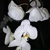 """February 27, 2016 (photo taken with my cell phone)<br /> <br /> """"ORCHIDS"""" (The """"before"""") version<br /> <br /> We dined here for lunch - great food and service! This orchid was in a vase at a nearby table.<br /> <br /> View the """"Metamorphosized"""" version here:<br /> <br /> <a href=""""https://godschild.smugmug.com/HotelsResorts/Inn-at-Harbor-Town-2016/i-bvzVgbg/A"""">https://godschild.smugmug.com/HotelsResorts/Inn-at-Harbor-Town-2016/i-bvzVgbg/A</a><br /> <br /> Paulette's Restaurant<br /> Inn at Harbor Town<br /> Paulette's Restaurant<br /> 50 Harbor Town Square<br /> Memphis, Tennessee 38103 <br /> Telephone Number: (901) 260-3300<br /> Official website: <a href=""""http://paulettes.net"""">http://paulettes.net</a><br /> <br /> My Homepage:  <a href=""""http://www.GodsChild.SmugMug.com"""">http://www.GodsChild.SmugMug.com</a>"""