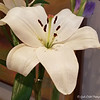 """April 2, 2017<br /> <br /> """"Tiger Lilies and Gladiolas""""<br /> <br /> The Alluvian<br /> 318 Howard Street <br /> Greenwood, MS<br /> Official website: <a href=""""http://www.thealluvian.com/index.php"""">http://www.thealluvian.com/index.php</a><br /> <br /> My Homepage:  <a href=""""http://www.GodsChild.SmugMug.com"""">http://www.GodsChild.SmugMug.com</a>"""