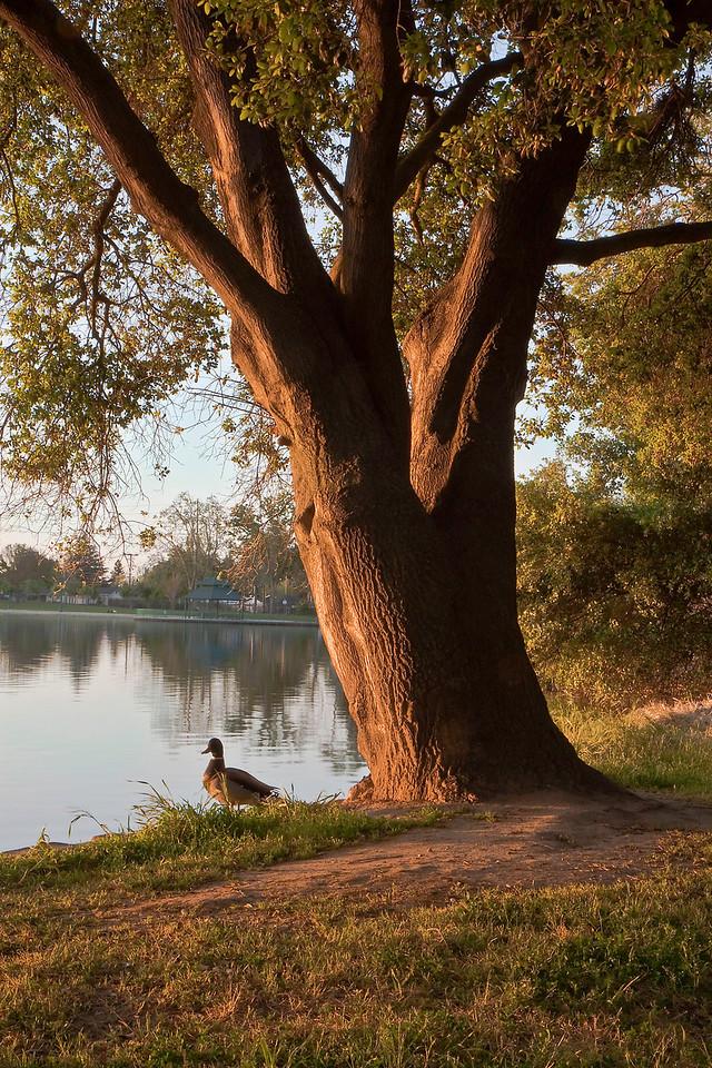 sunrise duck