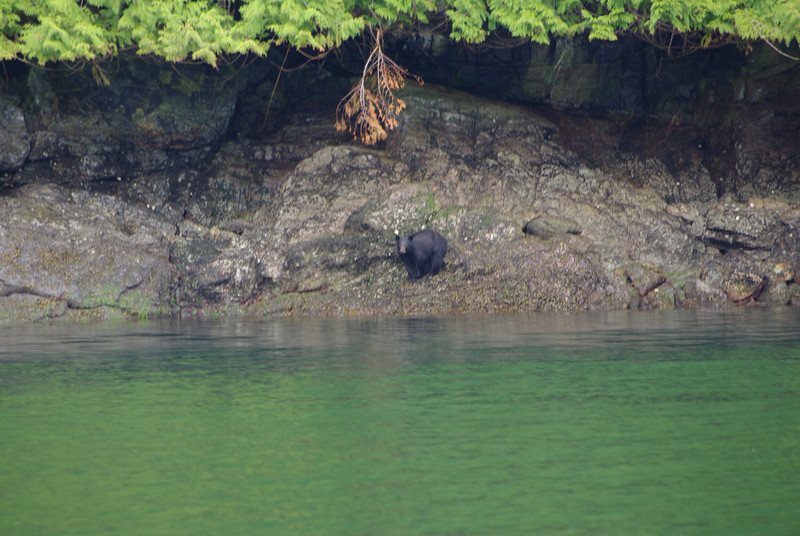 We saw lots of bears feasting on the exposed shell fish during the low tides of spring.