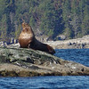 This huge sea lion was sitting out on a rock waiting for us this afternoon,.