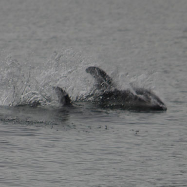 Pacific Whitesided Dolphins playing in our wake.
