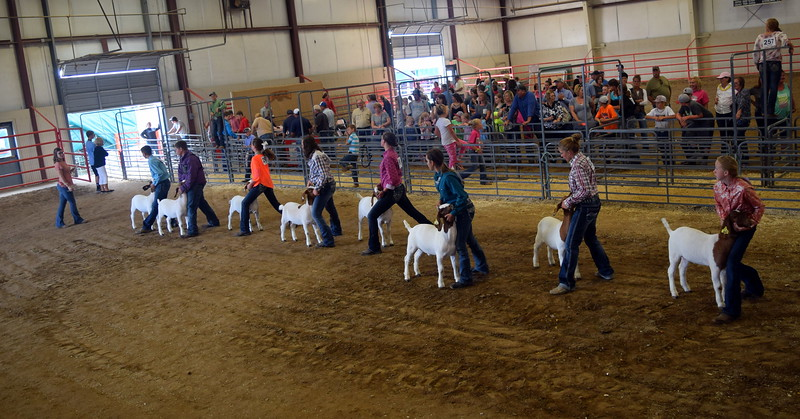 The judge looks over intermediate showman competitors goats during the Round Robin Showmanship Contest Friday, Aug. 11, 2017, at the Logan County Fair.