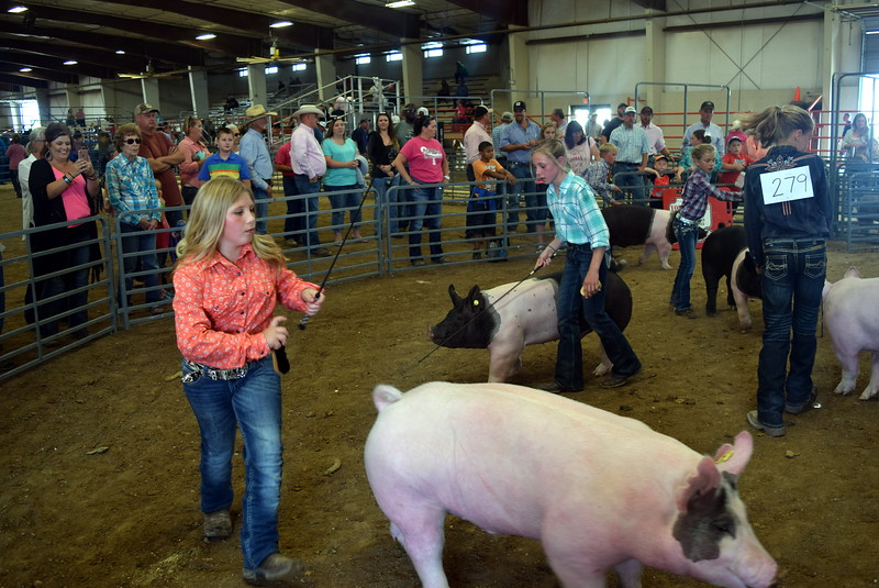 Junior showman work swine around the ring during the Round Robin Showmanship Contest Friday, Aug. 11, 2017, at the Logan County Fair.