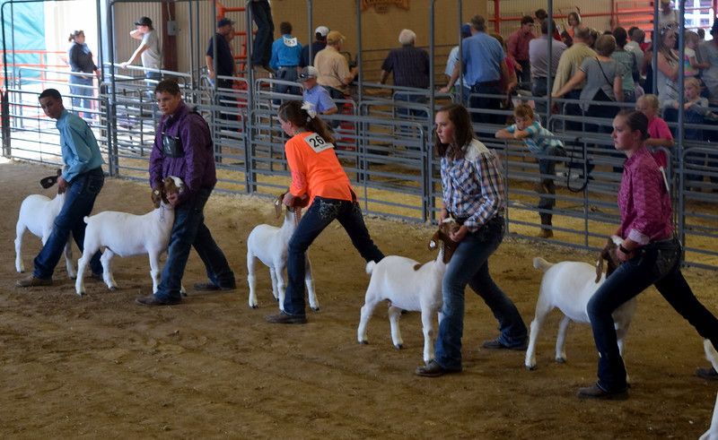 Intermediate showman position their goats during the Round Robin Showmanship Contest Friday, Aug. 11, 2017, at the Logan County Fair.