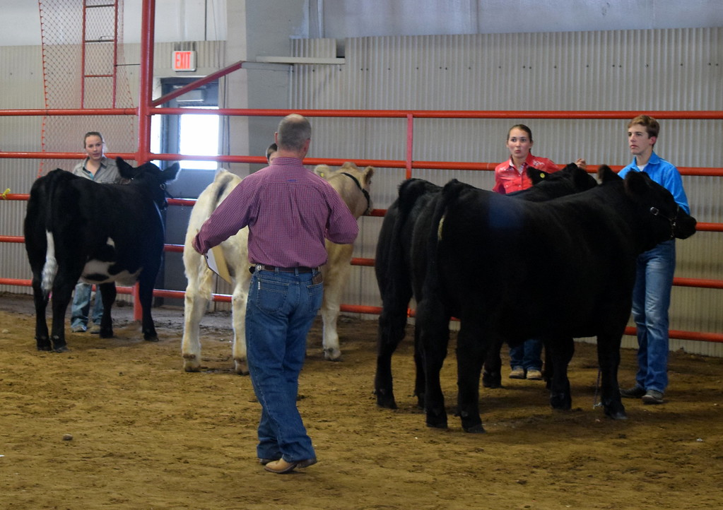 . Senior showman pay close attention to the judge as they hold onto their animals during the Round Robin Showmanship Contest Friday, Aug. 11, 2017, at the Logan County Fair.
