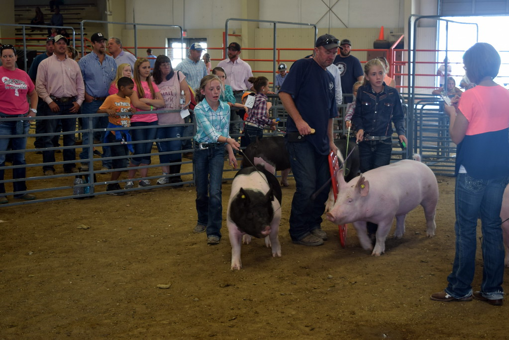 . Junior showman pay close attention to the judge as they work their animals around the ring during the Round Robin Showmanship Contest Friday, Aug. 11, 2017, at the Logan County Fair.