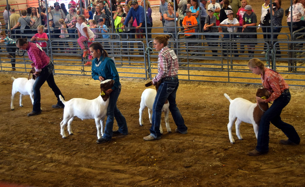 . Intermediate showman position their goats during the Round Robin Showmanship Contest Friday, Aug. 11, 2017, at the Logan County Fair.