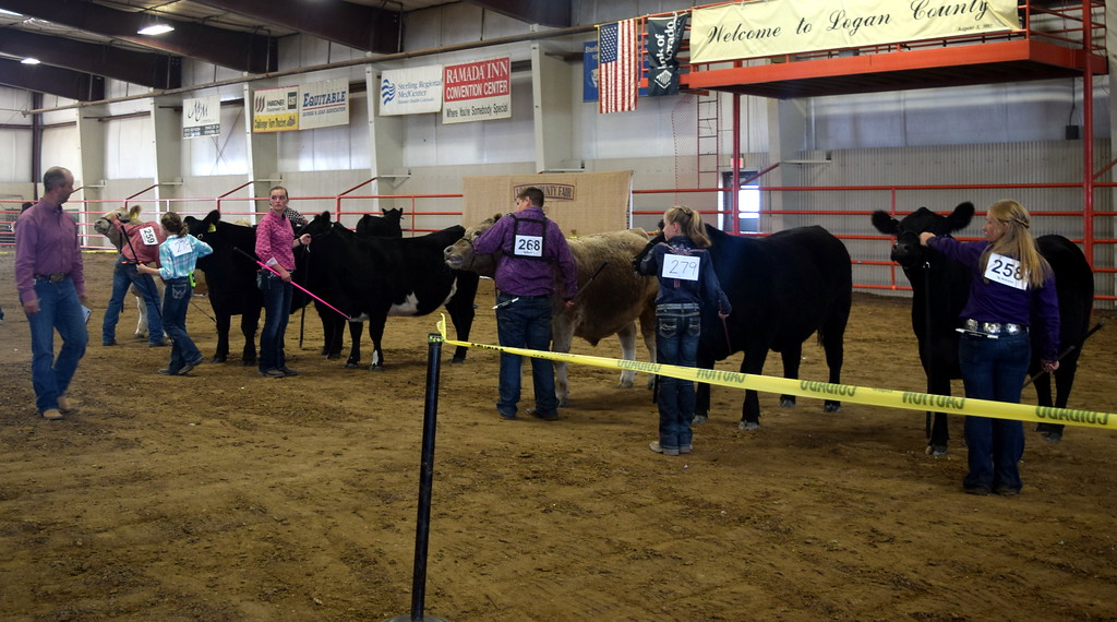 . Top beef showman hold onto their animals as the judge looks them over during the Round Robin Showmanship Contest Friday, Aug. 11, 2017, at the Logan County Fair.